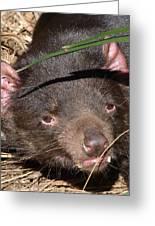 Tasmanian Devil Portrait Greeting Card by Margaret Saheed