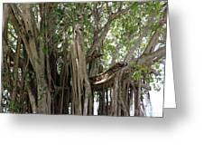 The Banyan Tree Greeting Card by Megan Dirsa-DuBois