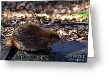 The Beaver Greeting Card by Eva Thomas
