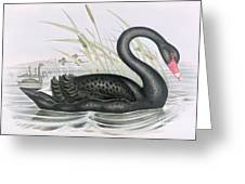 The Black Swan Greeting Card by John Gould