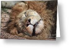 The Lion Sleeps Tonight V4 Greeting Card by Douglas Barnard