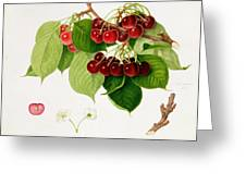The May Duke Cherry Greeting Card by William Hooker