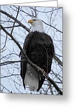 The Mighty Bald Eagle Perched On A Branch In Brackendale B.c Greeting Card by Pierre Leclerc Photography