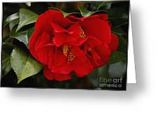 The Red Camellia  Greeting Card by James C Thomas