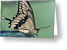 Thoas Swallowtail Butterfly Greeting Card by Heiko Koehrer-Wagner