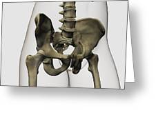 Three Dimensional View Of Human Pelvic Greeting Card by Stocktrek Images