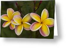 Three Pink And Yellow Plumeria Flowers - Hawaii Greeting Card by Brian Harig