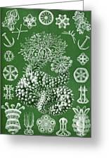 Thuroidea From Kunstformen Der Natur Greeting Card by Ernst Haeckel