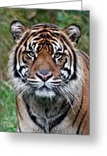Tiger Greeting Card by Athena Mckinzie