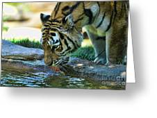 Tiger Drinking Water Greeting Card by Paul Ward