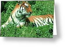 Tiger Greeting Card by Kathleen Struckle