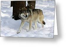 Timber Wolf In A Winter Snow Storm Greeting Card by Inspired Nature Photography By Shelley Myke