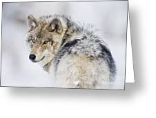 Timber Wolf Pictures 1268 Greeting Card by World Wildlife Photography