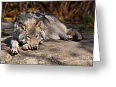 Timber Wolf Pictures 945 Greeting Card by World Wildlife Photography