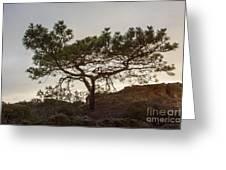 Torrey Pine Tree Greeting Card by Darleen Stry