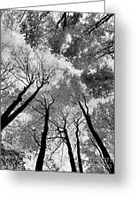Towering Maples Greeting Card by Lori Kallay