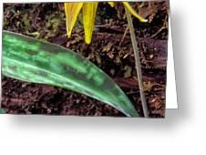 Trout-Lily Erythronium americanum Greeting Card by Thomas R Fletcher