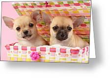 Two Chihuahuas Greeting Card by Greg Cuddiford