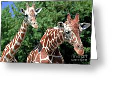 Two Giraffes Greeting Card by Kathleen Struckle