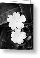 Two Primroses Primula Vulgaris Flower Heads Close Up Greeting Card by Joe Fox