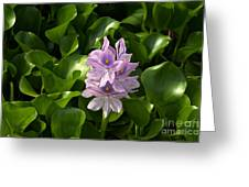 Unmanageable Beauty The Water Hyacinth Greeting Card by Byron Varvarigos
