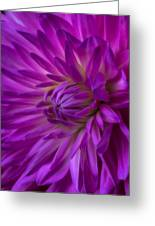 Very Pink Dahlia Greeting Card by Garry Gay