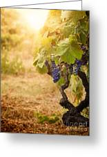 Vineyard In Autumn Harvest Greeting Card by Mythja  Photography