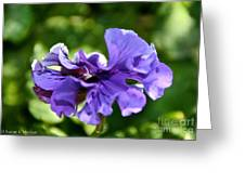 Violet Ruffles Greeting Card by Susan Herber