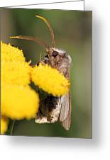 Voluble Dart Moth Greeting Card by Doris Potter