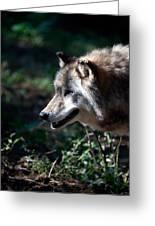 Wandering Wolf Greeting Card by Karol  Livote