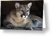 Watchful Cougar Greeting Card by John Van Decker