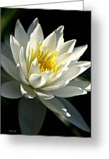 Water Lily Greeting Card by Christina Rollo