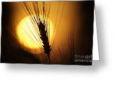 Wheat At Sunset  Greeting Card by Tim Gainey