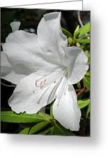 White Azalea Greeting Card by Kelly Nowak