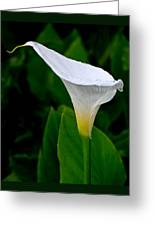 White Calla Greeting Card by Rona Black