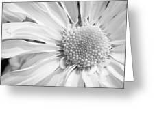 White Daisy Greeting Card by Adam Romanowicz