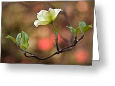White Dogwood In Early Spring Greeting Card by Frank Tozier