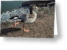 WHITE FRONTED GOOSE Greeting Card by Skip Willits