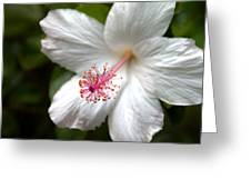 White Hibiscus Greeting Card by Brian Harig