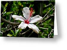 White Hibiscus Greeting Card by DUG Harpster