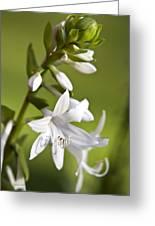 White Hosta Flower Greeting Card by Christina Rollo