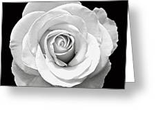 White Rose Greeting Card by Aimee L Maher Photography and Art