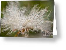 White Seedhad of Mountain Avens Greeting Card by Heiko Koehrer-Wagner