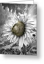 White Sunflower Greeting Card by Debra and Dave Vanderlaan