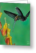 White Whiskered Hermit Greeting Card by Anthony Mercieca