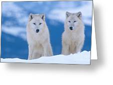 White Wolf Pair In Winter Greeting Card by Alan and Sandy Carey