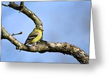 Wild Birds - American Goldfinch Greeting Card by Christina Rollo