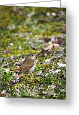 Wild Birds Hermit Thrush Greeting Card by Christina Rollo