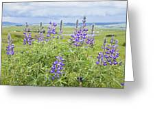 Wild Lupine Greeting Card by Theresa Tahara