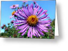 Wild Purple Aster Greeting Card by Christina Rollo